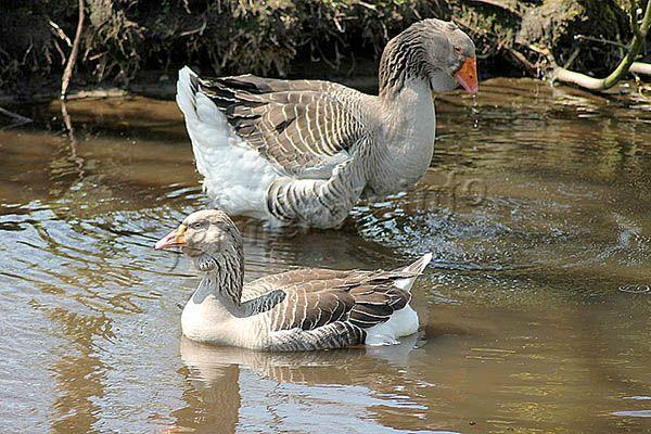 Фото Тулузских гусей