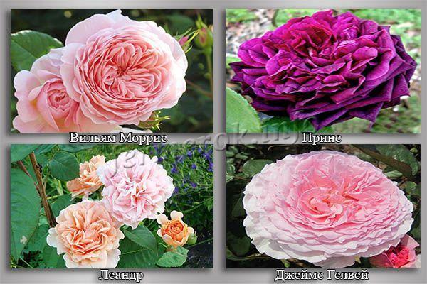 Фото лучших сортов роз Дэвида Остина