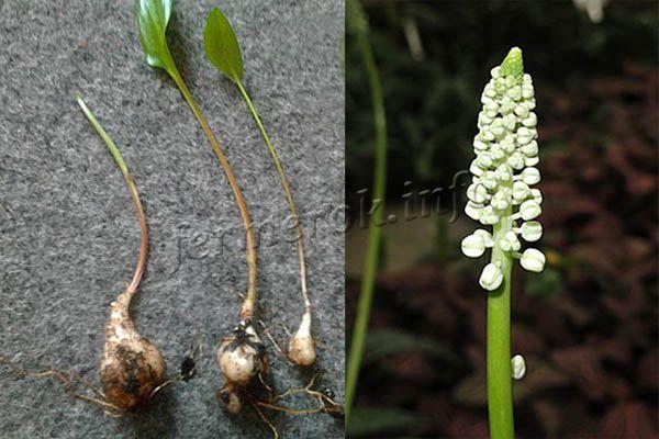 Фото луковиц и цветка Дримиопсиса