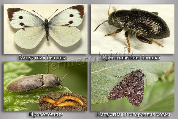 Фото основных вредителей редиса