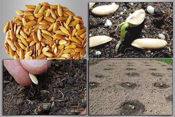 Фото посадки дыни семенами