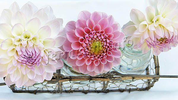 Фото цветущих георгин