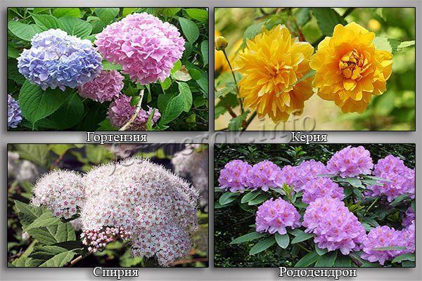 Фото цветущих кустарников для сада
