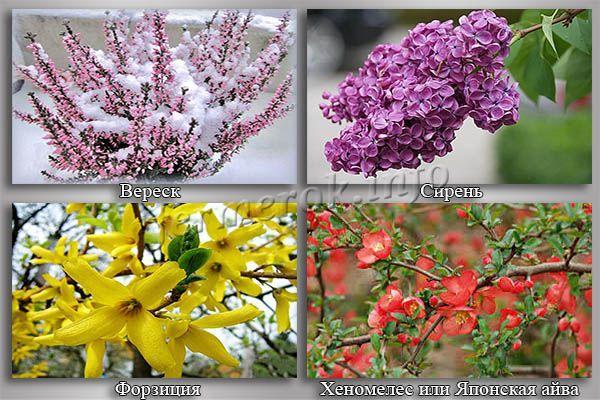 Фото цветущих зимостойких кустарников