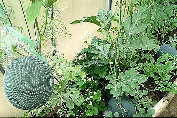 Фото урожая арбуза Сахарный малыш в теплице