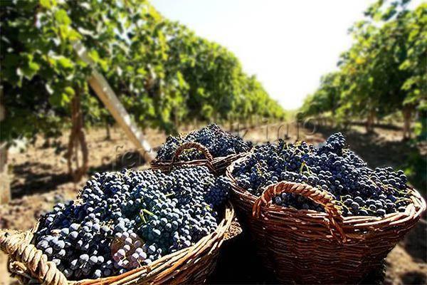 Фото урожая винограда Молдова