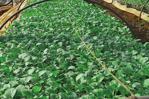 Фото выращивания рассады в теплице под пленкой