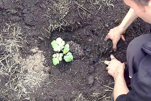 Фото высадки рассады арбуза в грунт