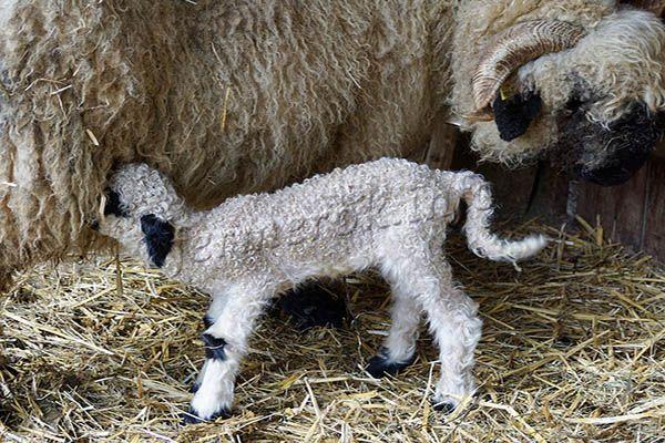 Каждые 2-3 часа новорожденный ягненок пьет материнское молоко