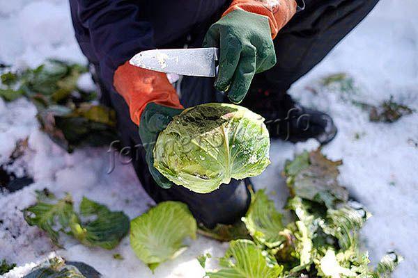 Когда убирать капусту с огорода на зиму
