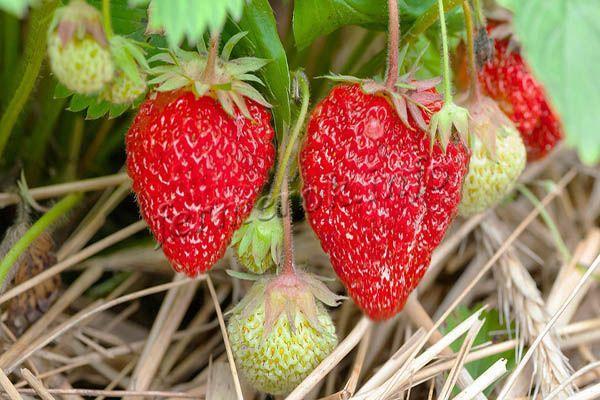 Мульчирование рекомендовано в период, когда ягоды созревают