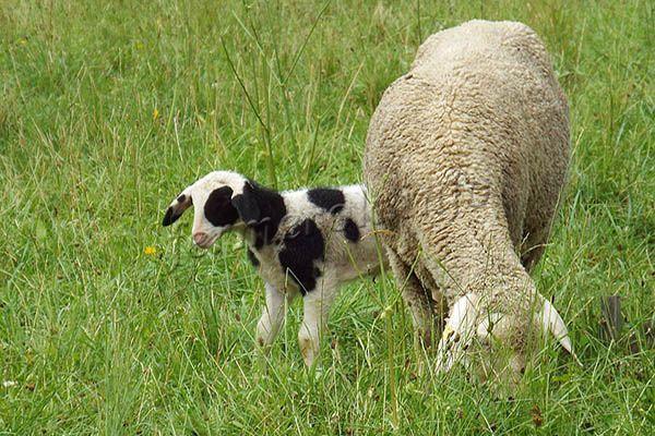 Обычно ягненка держат с мамой до 4 месяцев