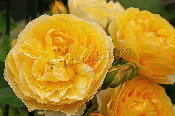 Одной из целей Дэвида Остина было создать много желтых сортов роз