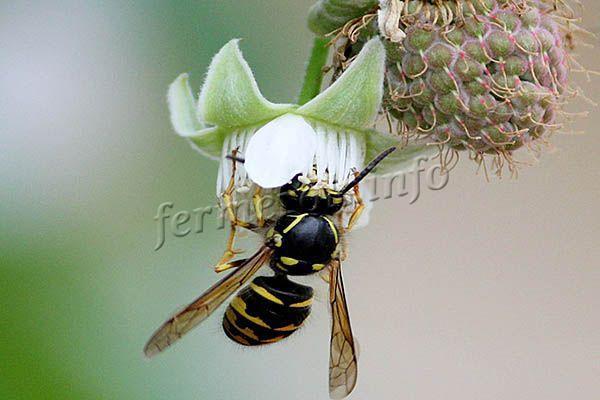 Пчелы увеличивают урожайность на 60-100%