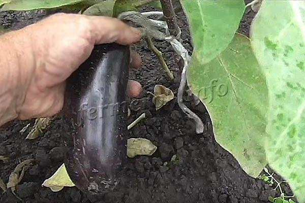 Плоды грушевидные, удлиненные по 15-20 см и около 200 г