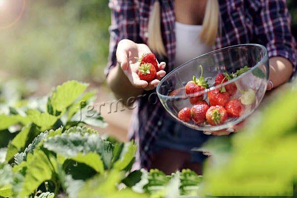 По мере созревания ягод их можно постепенно собирать