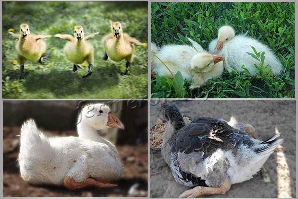 Почему гусята падают на ноги