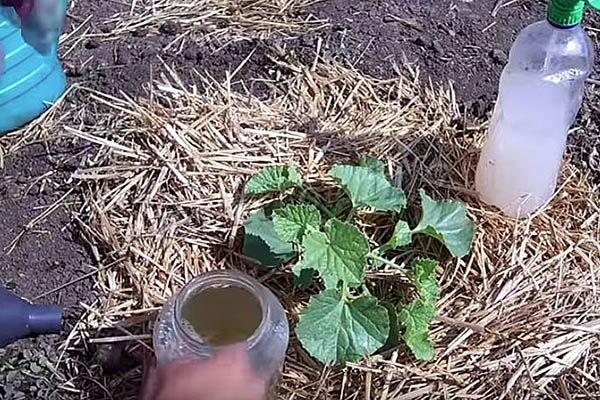 Подкормка рассады дыни в открытом грунте
