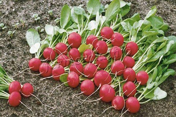 Урожайность при хорошем уходе до 2 кг с квадратного метра посадок