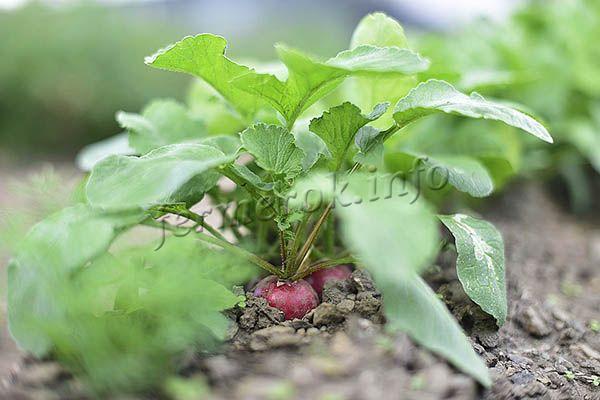 В открытом грунте редис Сора быстро развивается и дает ранний урожай