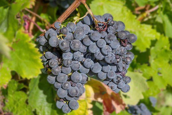 Винограда Молдова дает с кустика 4-5 кг