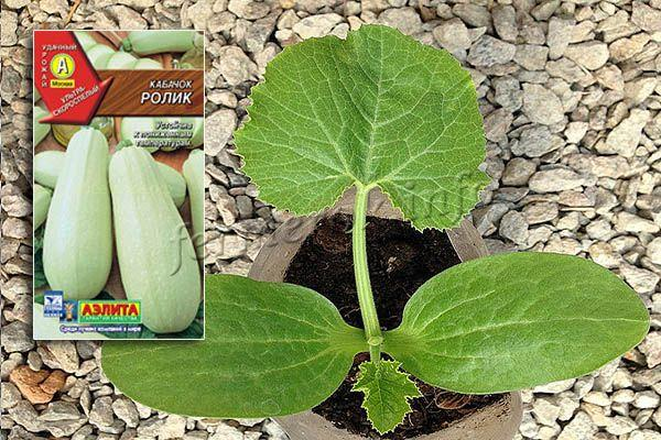 Выращивается Ролик обычно рассадным методом