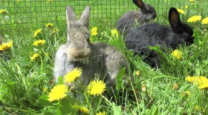 Одуванчики любимая еда кроликов