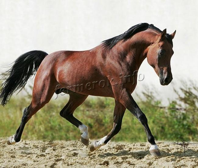 Черты Арабской породы лошадей
