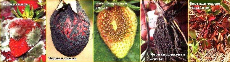 Чем обработать клубнику осенью от болезней?