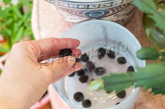 Посадка анемоны в открытый грунт