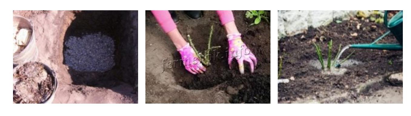 Выращивание розы пионовидной