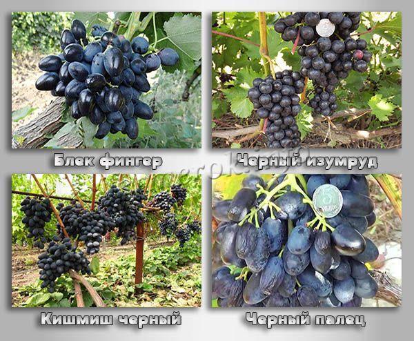 Бессемянные сорта черного винограда