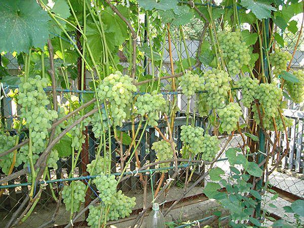 Благодаря быстрому росту кустов, виноград Августин нередко используется для декорирования беседок