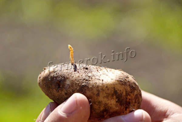 Болезни и вредители картофеля Гулливер