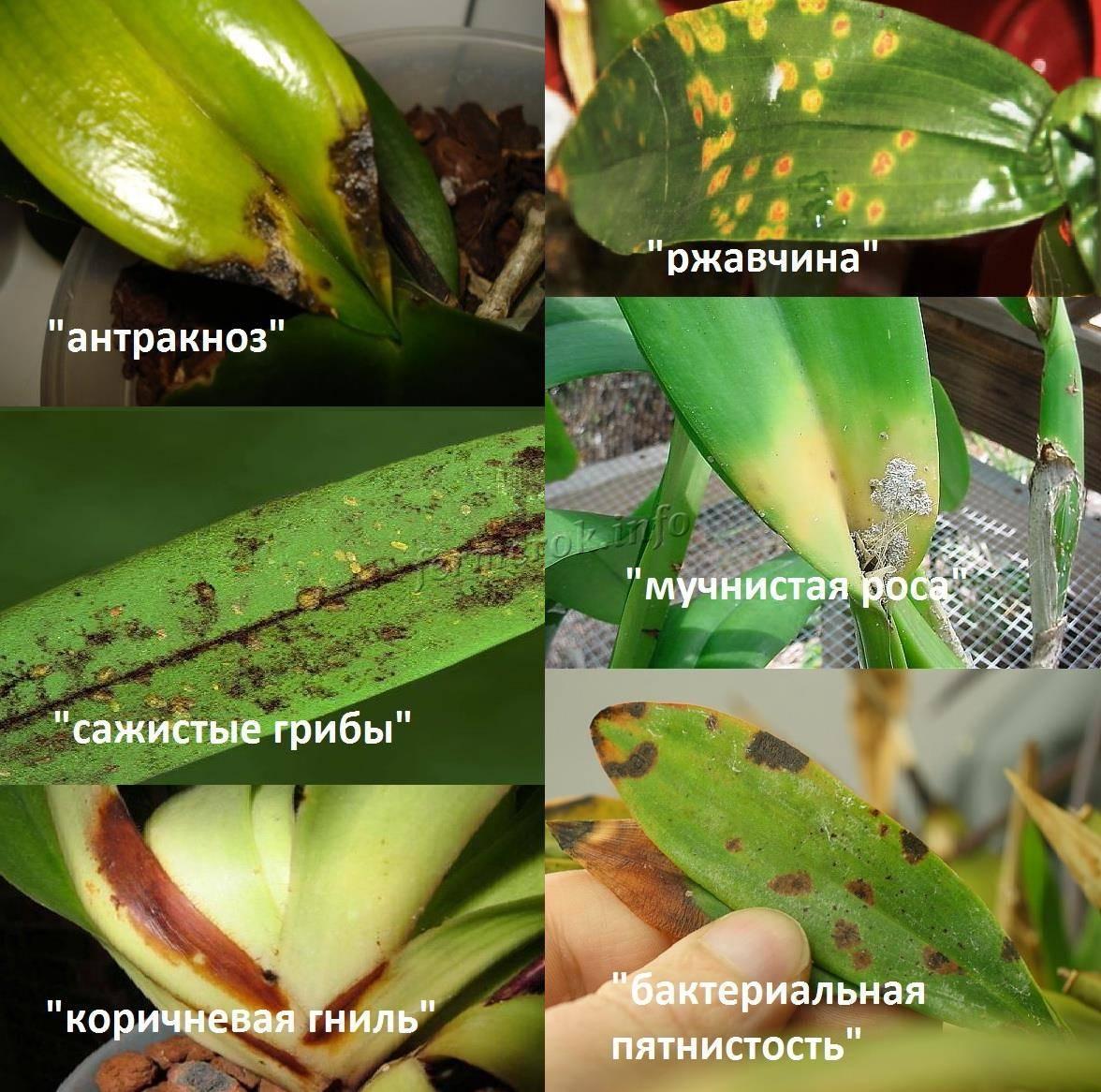 Причины желтых листьев у орхидей