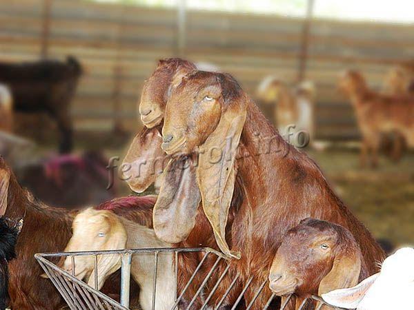 Экстерьер козы Шами