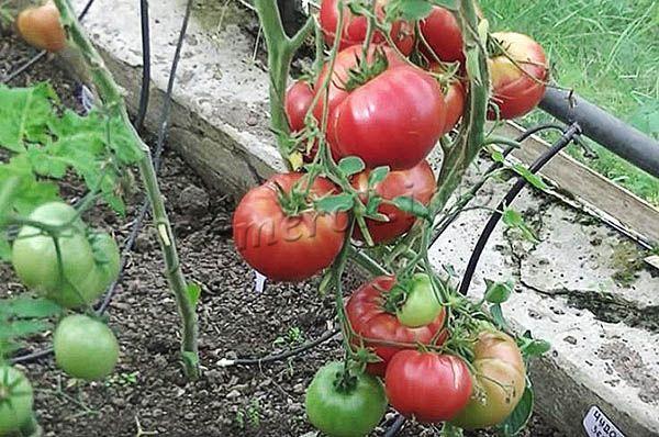 Фото томатов Чудо земли выращенных в теплице