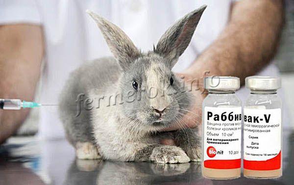 Фото вакцинации кролика препаратом Раббивак-В