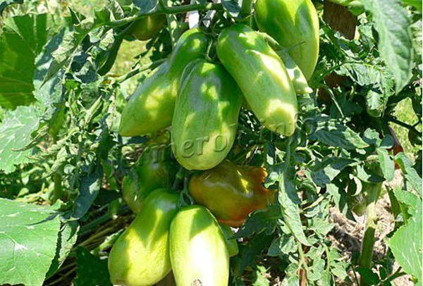 Фото зеленых плодов томатов Сибирская тройка