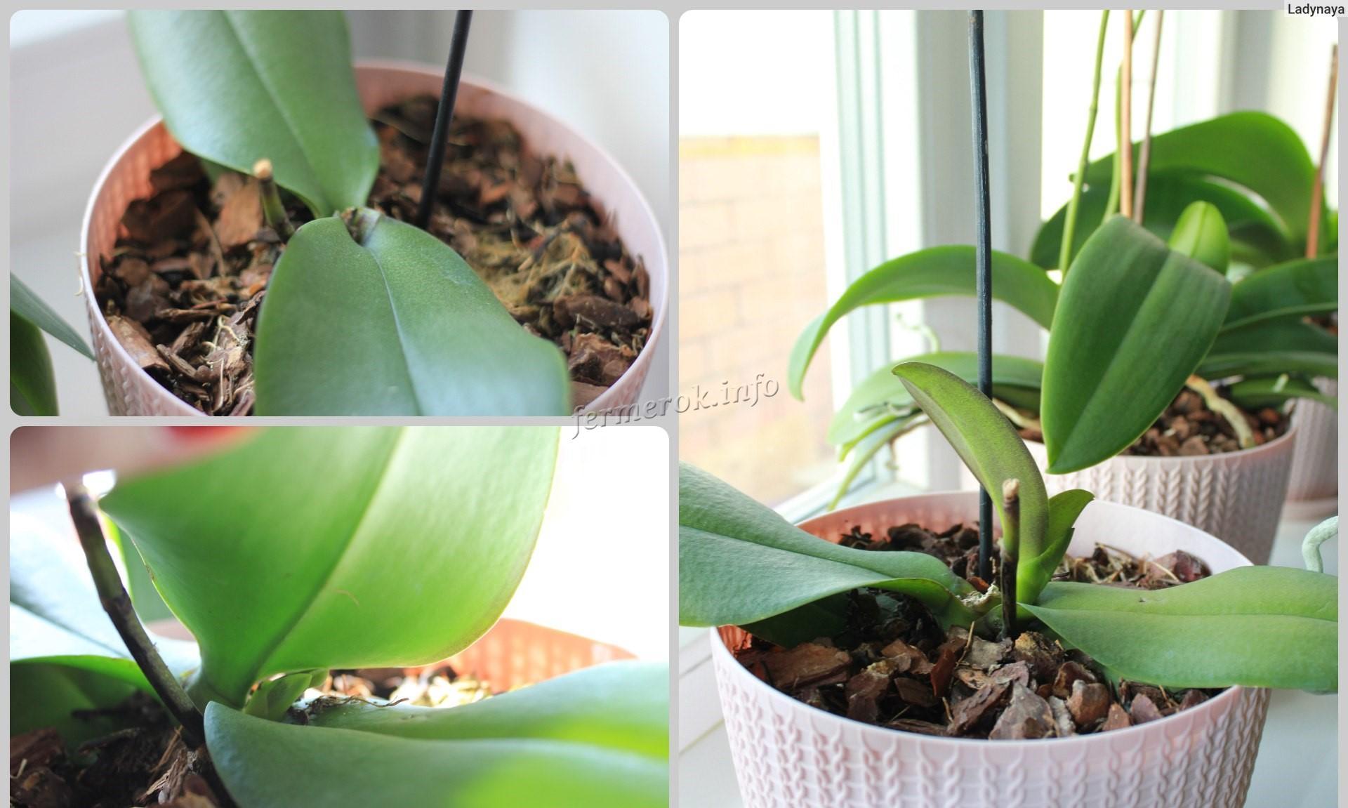 Почему желтеют листья у орхидеи Фаленопсис?
