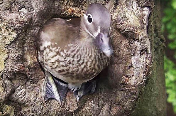 Гнездо Мандаринки находится на дереве в дупле