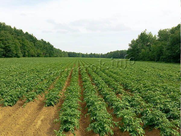 Густота посадки зависит от типа почвы и метода выращивания