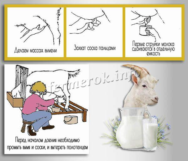 Как доить козу правильно