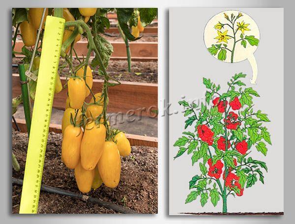 Куст томатов Банановые ноги детерминантный