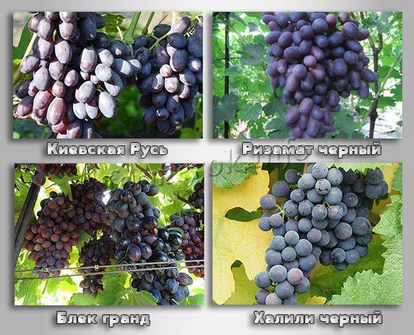 Лучшие сорта черного винограда