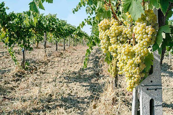 Мульчирование винограда Кишмиш 342