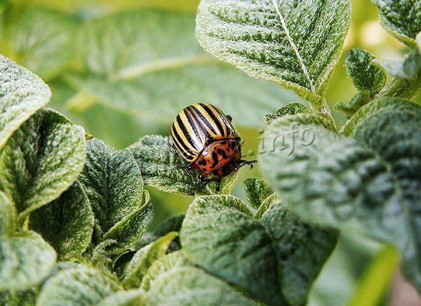 Нередко на сорте Королева Анна селится колорадский жук