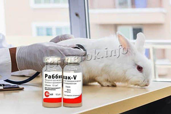 Перед прививкой кролик должен быть полностью здоров