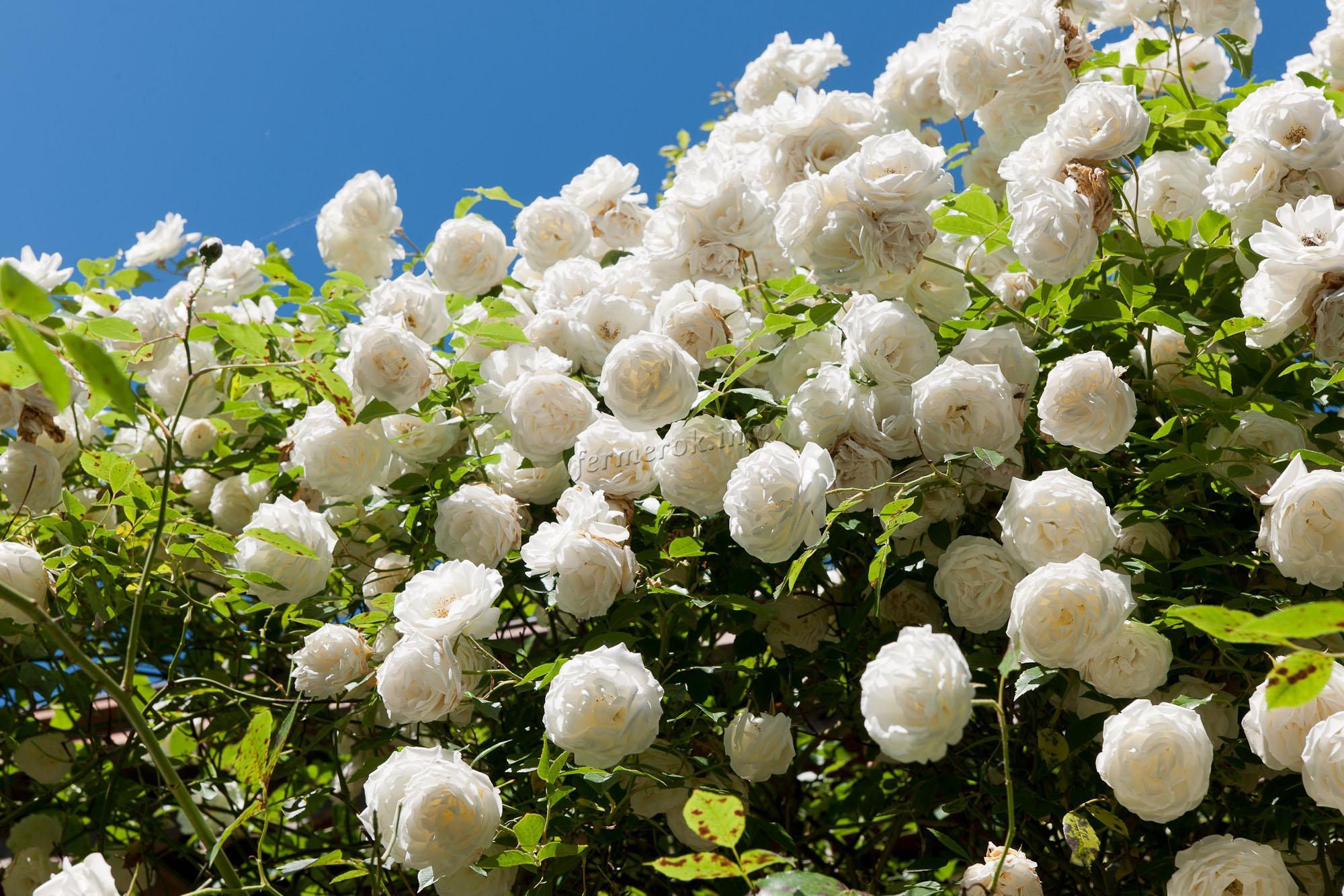 Плетистая роза Айсберг
