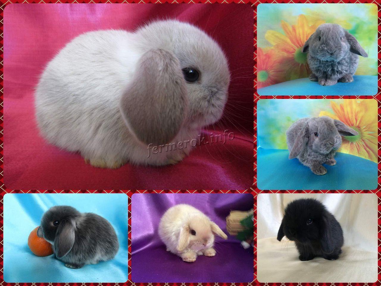 Длительность жизни карликовых кролей